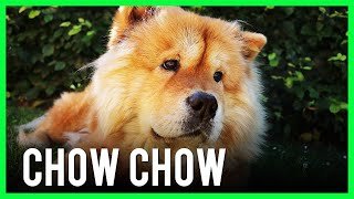 Chow Chow (Dog Breed Information)
