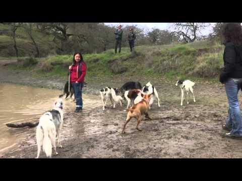 Hound Hike - 7 Silken Windhounds and 1 Borzoi