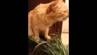 Кошка ест траву как кролик