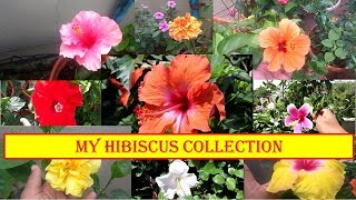[English CC] Tour to my hibiscus garden || 12 varieties Hibiscus Collection Overview ||