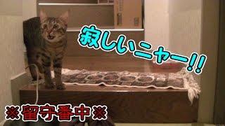 留守番中、鳴きながら寂しがる猫(面白い&可愛い子猫)The cat which cries during going out thumbnail