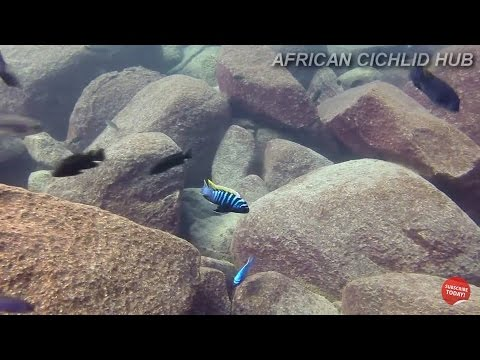 Ndumbi Rocks Lake Malawi - African Cichlids - HD Underwater Footage