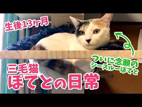 【生後13ヶ月】三毛猫ぽてとの日常「ついにシースルーぽてとお披露目!」