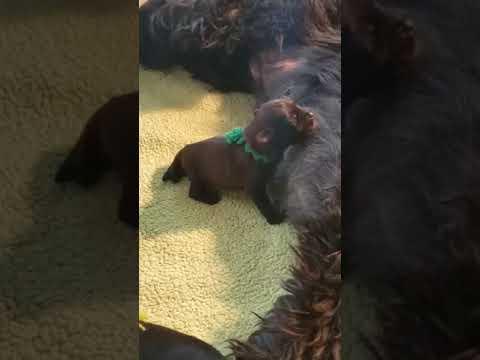 Briard Mom Gigi and her pups video 2