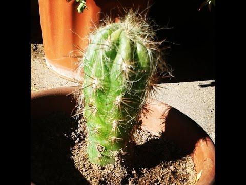 Cactus que se pudre - Por qué y Solución
