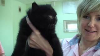 Котенок экзот Ашур Фанни-Кэт