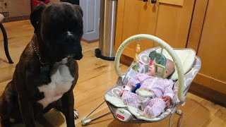 Are Boxer Dogs Great With Babies/Children ??? #boxerdog