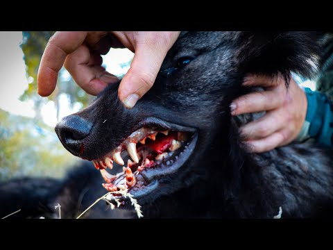 Wolf Hunting Idaho 2019 | Black Wolf Down!