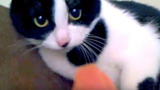 はちわれ猫「ハッチ」のおもしろ かわいい 猫動画♪ 飼い主に猫パンチ連...