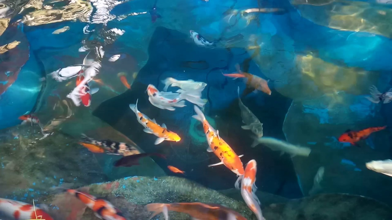 Koi pond in india youtube for Koi pond india
