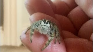 Unboxing Two Giant Jumping Spiders (World's BIGGEST sp.)