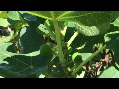 Fall Fig Crop or False Fig Crop ?