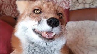 Лиса должна жить в лесу, но эта лиса живет дома