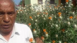 केसर की खेती कब और कैसे करें (American Saffron farming)