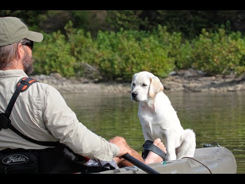 Labrador Retriever Puppy Training - Search and Rescue Foundation Part Three
