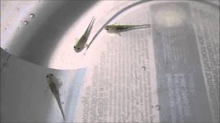 личинки испанского тритона
