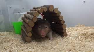 (hamster、ハムスター)三天兩夜尿尿之旅(上)