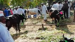 Gambar cover Holstein Friesian Cow market loni
