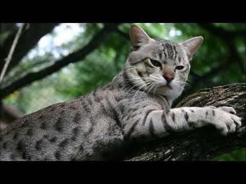 Порода кошек, выведенная в Австралии. Австралийский мист.