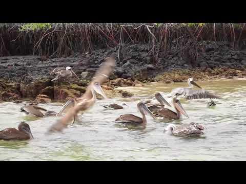 Galapagos Islands Brown Pelicans