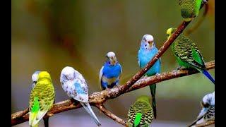 Как ухаживать за попугаями? Советы опытного птицевода