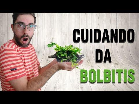 Como cuidar da planta Bolbitis heudelotiis em um aquário