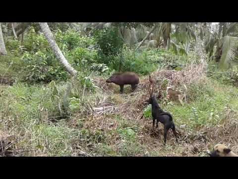 Babi ganas vs anjing kampung