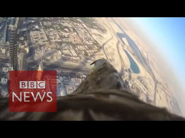 Eagle-cam: Incredible POV shot as bird descends from world's tallest building - BBC News