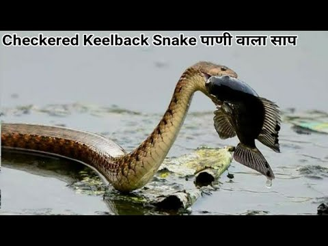 Checkered Keelback Snake (Non-Venomous)English: Asiatic Water Snake Hindi: Pani wala sap