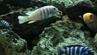 African Cichlids! Lake Malawi Mbuna Including White Top Hara
