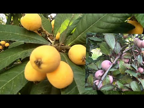 Endemic fruits in cyprus