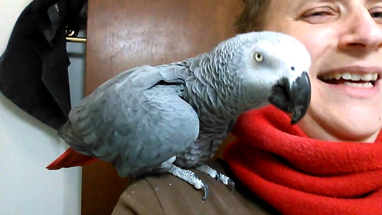 how to know if your african grey is happy