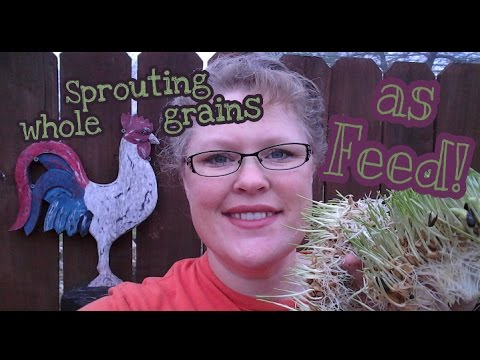 This is how I sprout whole grains for my chickens!