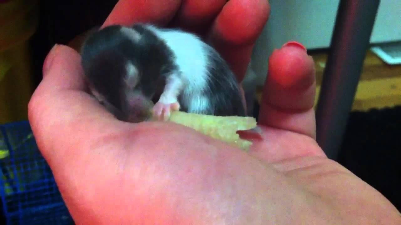 11 Day Old Baby Teddy Bear Hamster Eating Lettuce - YouTube