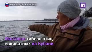 ГЕЛЕНДЖИК ГИБЕЛЬ ПТИЦ ВЕРСИЯ ТЕЛЕКАНАЛА ИЗВЕСТИЯ 2020г