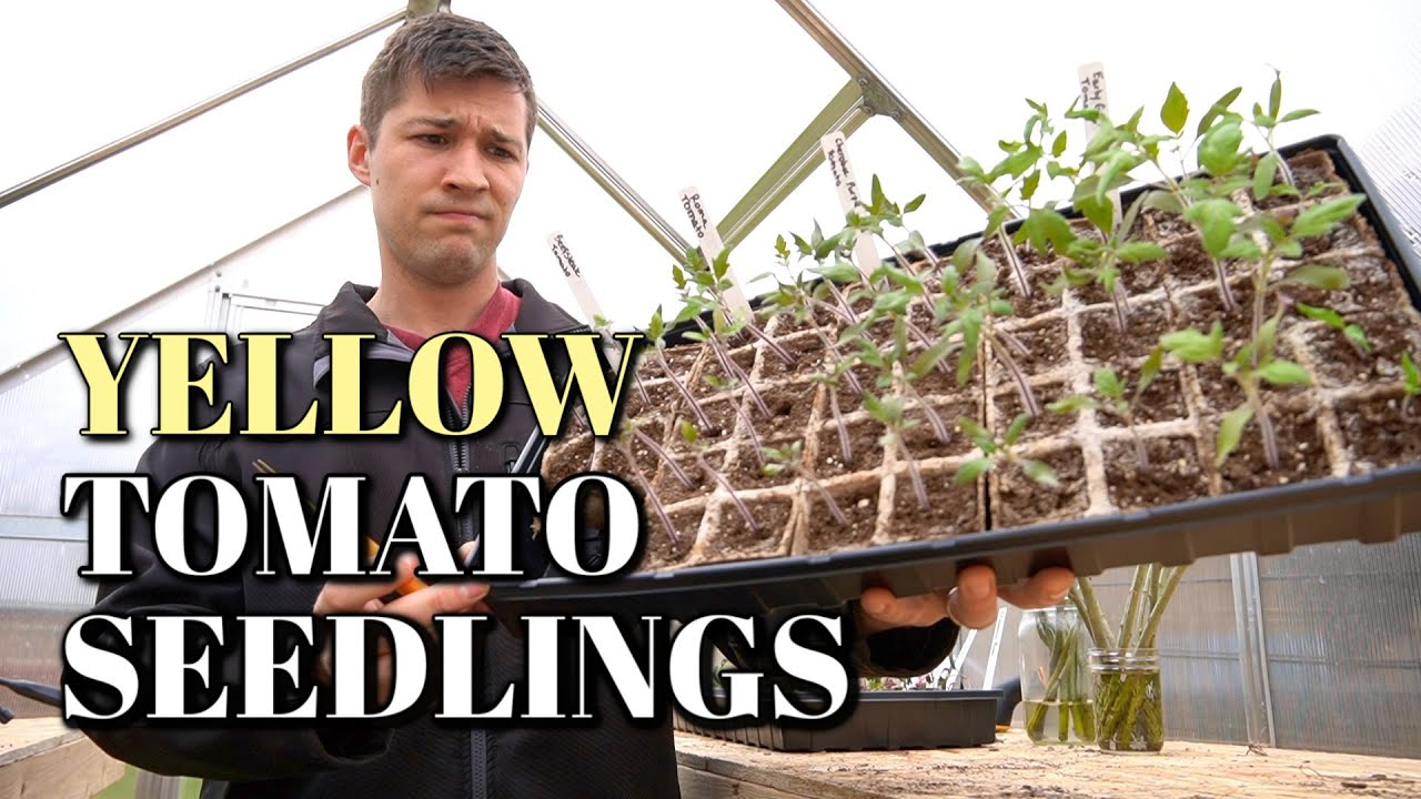 Why Your Tomato Seedlings Leaves Are Turning Yellow Cotyledon Vs True Leaves Youtube