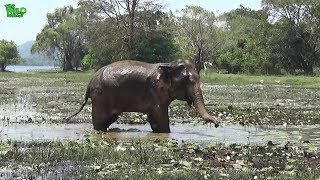 An elephant with an injured leg makes a muddy mess. Cute when resisting!
