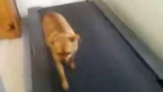 Miniature Pinscher Working Out On Treadmill