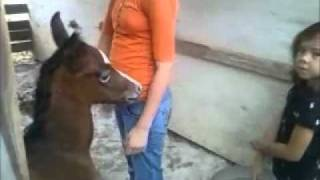 Arabian Horse Baby Julius July 10 2011.wmv