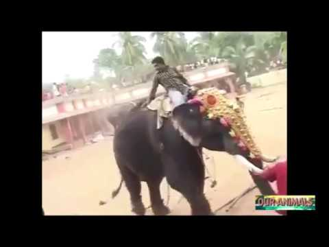 Elephant Kills Man   Angry Elephants attacking Humans and Wrecking Objects Compilation