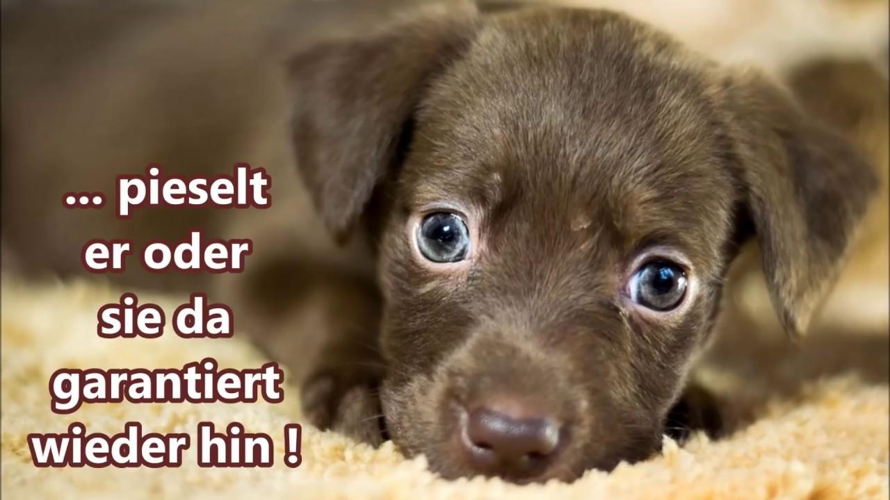 Welpe Stubenrein Bekommen So Klappts Garantiert Hundeschule Loewenzahn Youtube