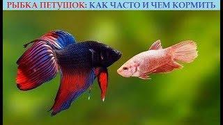 Рыбка петушок: как часто и чем кормить. Полезные советы