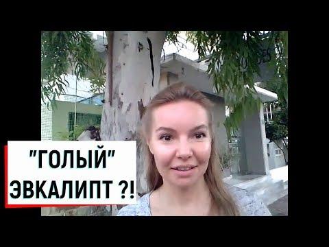 'ГОЛЫЙ' ЭВКАЛИПТ ?!