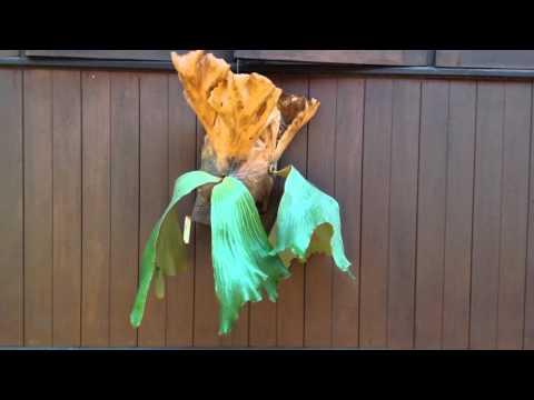 Platycerium x Elemaria - Staghorn fern - Elkhorn - 鹿角蕨