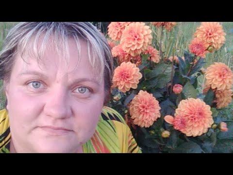 Про Цветочки. Обзор цветущих георгин серии Гэллери и другие.