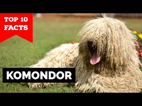 Komondor  Top 10 Facts