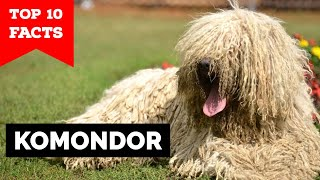 Komondor  Top 10 Facts