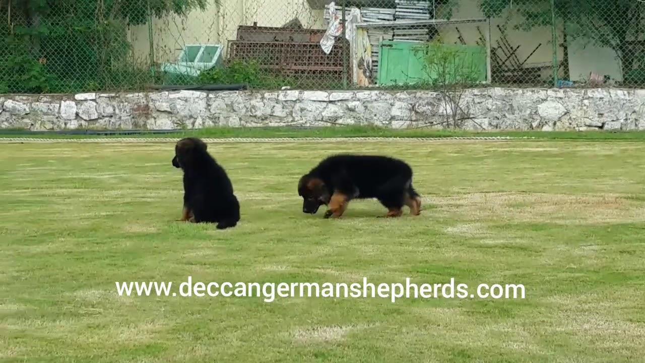 German Shepherd Breeder, Dog kennels