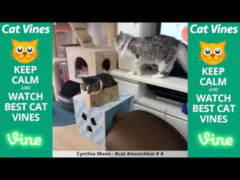 Funniest Cat Vines #57 - Updated August 16th, 2015