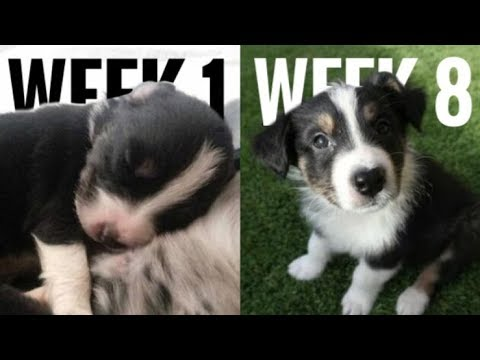 Australian Shepherd Puppies Timelapse | Week 1- Week 8